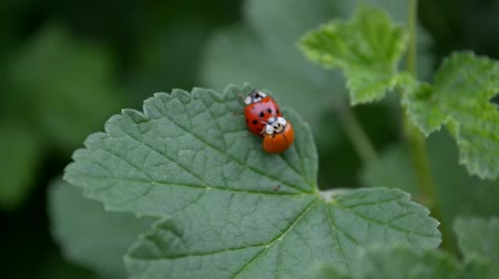 mating season : Orange and red ladybugs is mating and sitting on a leaf of currants in the wind