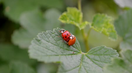 Orange and red ladybugs is mating and sit on a leaf of currants in the wind