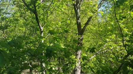 Bright green leaves of a deciduous tree fluttering in the wind