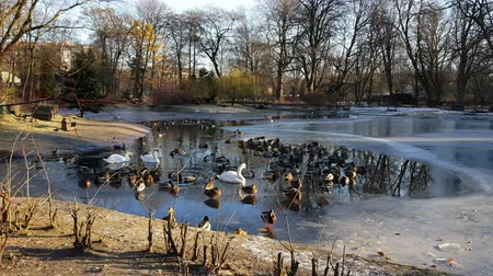 Swans, ducks and drakes swim in the frozen water Wideo