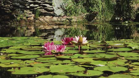 paisagístico : Water lilies in the water