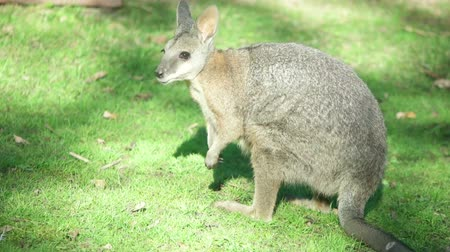 wallaby : funny wallaby on green grass Stock Footage