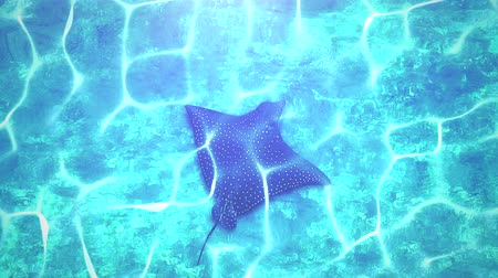 cartilaginous : Closeup stingray in underwater world, summer background. Elegant and luxury dynamic style animation footage