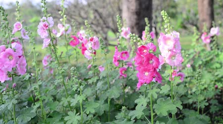 Beautiful hollyhock flowers in garden. Vídeos