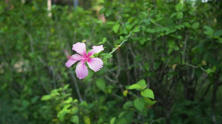 Common Hibiscus pink flower.