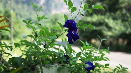 Pea flower, herb for hair treatment.