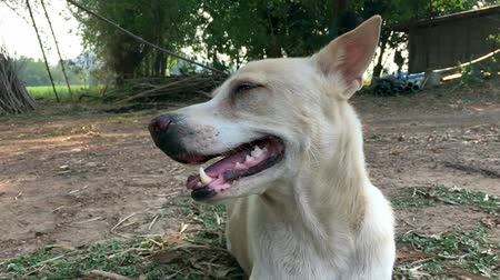Slow-motion of white dog smiling. Vídeos