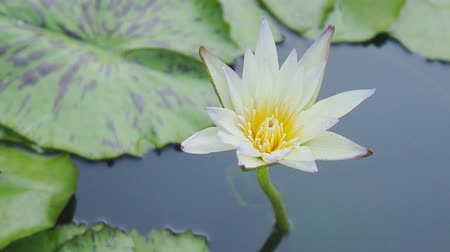 fazilet : Beautiful lotus flowers.