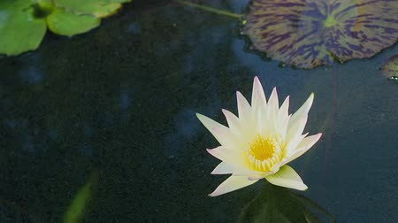 Beautiful lotus flowers.