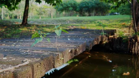 wooden bridge : Bodhi Tree growing on wooden bridge. Stock Footage