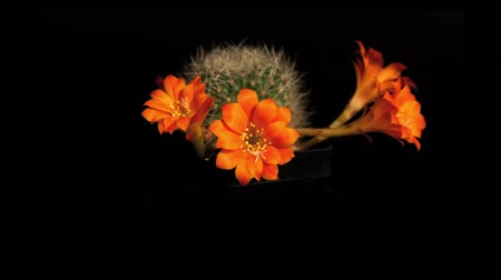 kaktusz : Timelapse of orange cactus flower blooming on black background