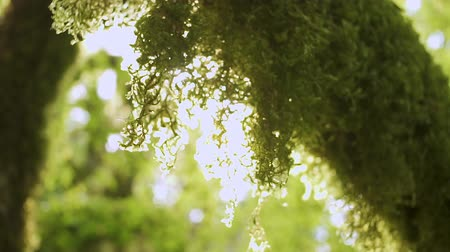 Enchanted tree covered with moss. Mysterious age-old forest. Stock Footage