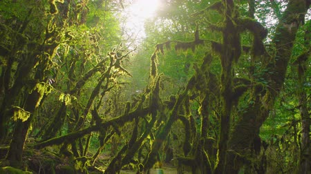 mossy forest : Mysterious age-old forest. Enchanted trees.