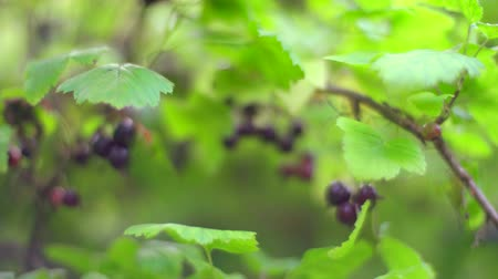 agrest : Bush with blackcurrant berries in the garden. Closeup slider shot.