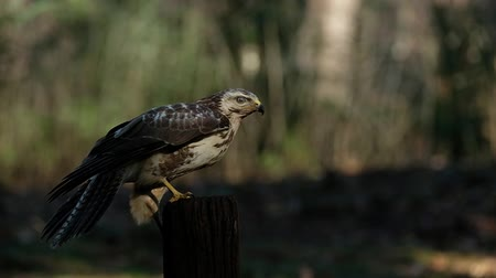 masožravý : alert hawk sitting on a wooden pole look around and fly away in slow motion