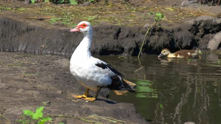 ducky : Indo duck woman and duckling on a pond. A bird in the home farmstead