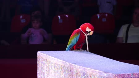 ara : ANAPA, RUSSIA - JULY 29, 2017: Speech of the parrot Ara in the arena of the circus. The parrot sits on the table. Stock Footage