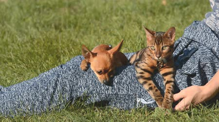 tabby cat : Cat and dog. Toy Terrier mini and Bengal cat on his lap at the mistress. They stroked his hands, they like and they look around. Their heads look gently hands one by one.
