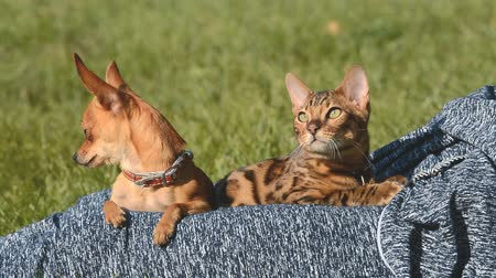 bengal cat : Cat and dog. Toy Terrier mini and Bengal cat on his lap at the mistress. They stroked his hands, they like and they look around. Their heads look gently hands one by one.