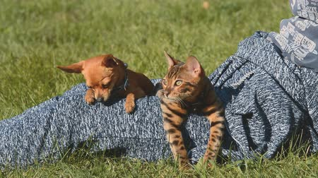 tabby cat : Cat and dog. Toy Terrier mini and Bengal cat. Stock Footage