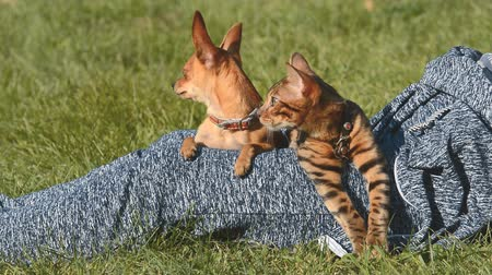 bengal cat : Cat and dog. Toy Terrier mini and Bengal cat. Stock Footage