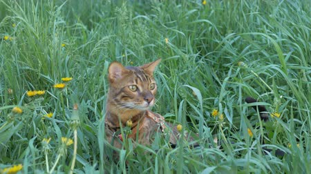 созерцать : The one cat bengal walks on the green grass. Shooting speed 60fps in 4k, slow motion. The cat looks around, looking for a better place. Worried and afraid of everything on the street. Стоковые видеозаписи