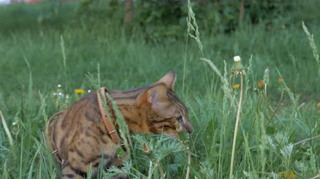созерцать : The one cat bengal walks on the green grass. Shooting speed 60fps in 4k, slow motion. Bengal learns to walk along the street. He is slightly scared. He tries to hide in the grass.