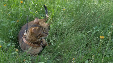 созерцать : The one cat bengal walks on the green grass. Shooting speed 60fps in 4k, slow motion. Bengal is hiding in the high grass in the open air. Live shooting with hands with a stabilizer. Стоковые видеозаписи