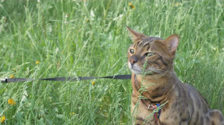 созерцать : The one cat bengal walks on the green grass. Shooting speed 60fps in 4k, slow motion. Bengal laughs funny in the wind. Live shooting with hands with a stabilizer. Стоковые видеозаписи