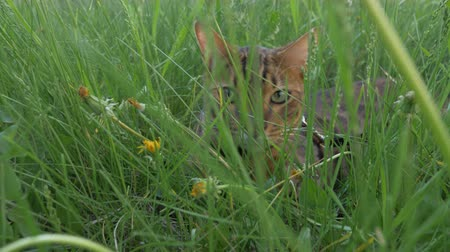 созерцать : The one cat bengal walks on the green grass. Shooting speed 60fps in 4k. Bengal is hiding in the high grass. The camera moves through the thicket directly to it. Live shooting with stabilizer.