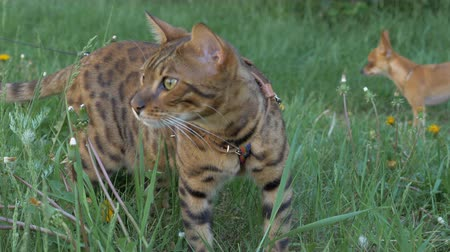 bengal cat : Bengal cat and dog toy terrier walks on green grass. Shooting speed 60fps in 4k, slow motion. Bengal learns to walk outdoors. The company is made up of two Toy Terriers. A cat walks rarely, but he likes it.
