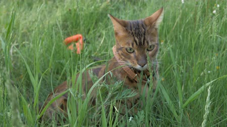 cenný : The one cat bengal walks on the green grass. Shooting speed 60fps in 4k, slow motion. Bengal is hiding in the high grass in the open air. Live shooting with hands with a stabilizer. Dostupné videozáznamy