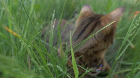 bengal cat : The one cat bengal walks on the green grass. Shooting speed 60fps in 4k. Bengal is hiding in the high grass. The camera moves through the thicket directly to it. Live shooting with stabilizer.