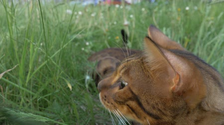 gato selvagem : The one cat bengal walks on the green grass. Shooting speed 60fps in 4k, slow motion. Bengal is hiding in the high grass in the open air. Live shooting with hands with a stabilizer. Vídeos