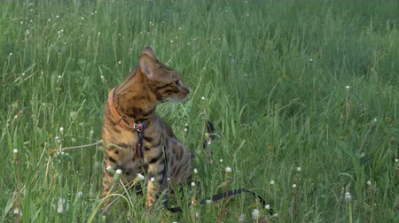 sightly : The one cat bengal walks on the green grass. Shooting speed 60fps in 4k, slow motion. Bengal learns to walk along the street. He is slightly scared. He tries to hide in the grass.