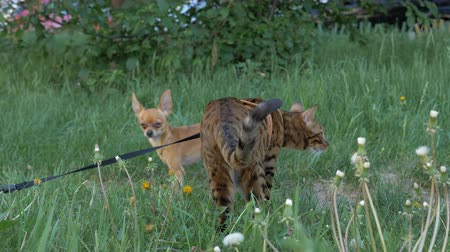 purebred cat : Bengal cat and dog toy terrier walks on green grass. Shooting speed 60fps in 4k, slow motion. Bengal learns to walk outdoors. The company is made up of two Toy Terriers. A cat walks rarely, but he likes it.