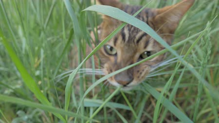 bengal cat : Bengal cat and dog toy terrier walks on green grass. Shooting speed 60fps in 4k, slow motion. The dog and the cat are playing with each other. Terrier cheerfully attacks Bengal, and he hides.