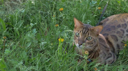 sightly : The one cat bengal walks on the green grass. Shooting speed 60fps in 4k, slow motion. Bengal is hiding in the high grass in the open air. Live shooting with hands with a stabilizer. Stock Footage