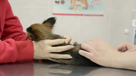 flea : Puppy toy terrier is put on a routine vaccination with a veterinary clinic. The injection is done in the back part. Two injections are done. The first is bearable, and the second is very painful.