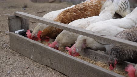 feeder : Chickens in the hen house eat food. The coop is in the village, in private estates. Stock Footage