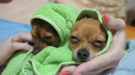 retiro : Two different dogs are very funny to dry up after a shower. Long-haired and short-haired Toy Terrier. Theyre like little kids. They are stroked over their heads and kissed. Sometimes they shake.