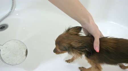 domestic short haired : That terrier is washed in a bath. The bulk is large and white. Dogs are washed constantly after the street. Used an exclusive shampoo. Wash the two dogs, first short-haired, then long-wool.