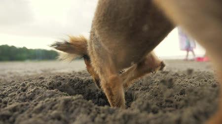hound : The dog digging a hole in the sand. Shooting video slow motion 180fps.