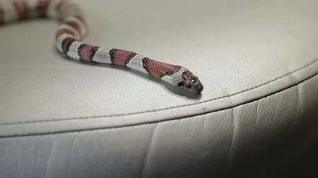 yılan : snake crawling on the sofa