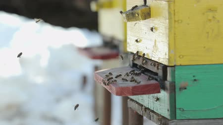 apiary : Many bees fly out of the hive in the spring, the snow is around. Close up. The concept of the awakening of nature