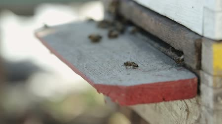 pólen : Many bees fly out of the hive in the spring, the snow is around. Close up. The concept of the awakening of nature