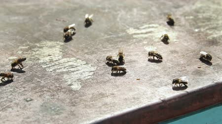 profundidade de campo rasa : bees crawling on the roof of the hive, basking in the sun after hibernation Stock Footage