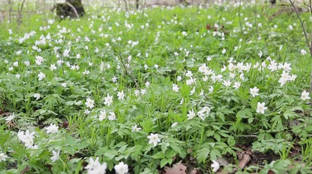 vernal : Glade with snowdrops in the spring forest. Flowers swaying in the wind. Close up