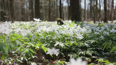 vernal : Glade with snowdrops in the spring sunny forest. Flowers swaying in the wind. HD