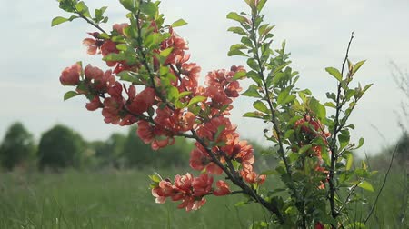 spiny : Japanese quince Bush with flowers standing in the field and swaying in the wind. Its spring Stock Footage